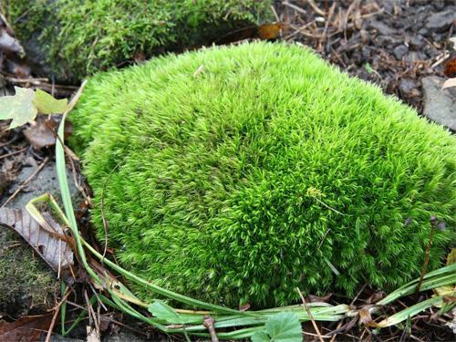 Rock Garden Plants - Rock Cap Moss Rock Garden Plants