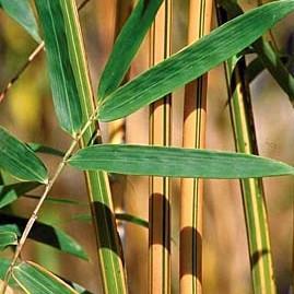 Bambusa multiplex 'Alphonse Karr'