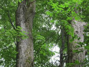 Cambia Wood - Ash