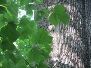 Cambia Wood - Yellow Poplar