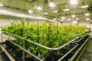 Cannabis – Steril Aire